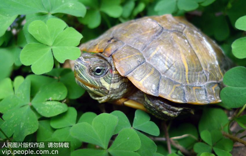 乌龟也要冬眠,家养乌龟如何安全过冬